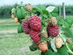 Raspberries stam Krepish