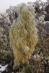 Крушина ломкая Файн Лайн зимой