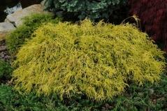 Chamaecyparis pisifera Filifera Aurea Nana
