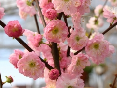 Prunus triloba Rosenmund