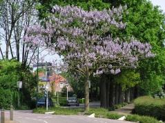 Павловния войлочная / Адамово дерево