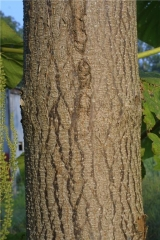 Адамове дерево