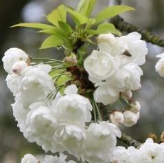 Prunus Alba Plena