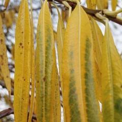 Ива сахалинская Секка осенью