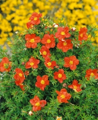 Potentilla fruticosa Marrob