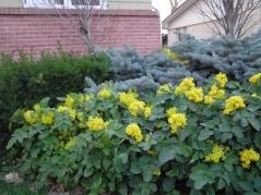 Магония  падуболистная <br>Магонія падуболиста <br>Mahonia aquifolium
