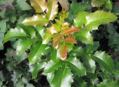 Магонія aquifolium