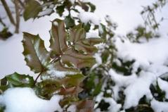 Магония aquifolium зимой