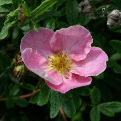 Пятилисточник розовый Нью Даун