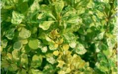Барбарис 'Powwow' листья