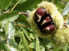 Каштан посевной / съедобный <br>Каштан посівний / їстівний <br>Castanea sativa