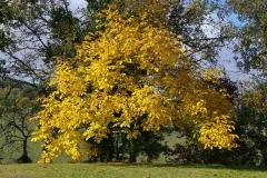 Горіх волоський Когилнічану восени