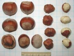 Corylus avellana Barselonskii