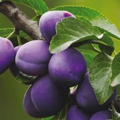 Prunus Prezident