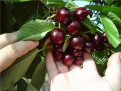 Черешня Джерело (чёрная, ранняя) <br>Черешня Джерело (чорна, рання) <br>Prunus avium Dzherelo