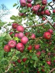 Яблоня домашняя Джонапринц (зимняя) <br>Яблуня домашня Джонапринц (зимова) <br>Malus domestica Jonaprince