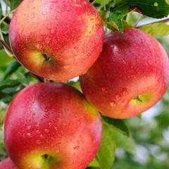 Яблоня домашняя Джонапринц