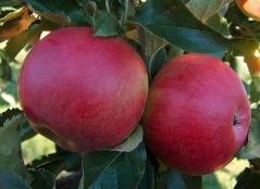 Яблуня домашня Джонапринц