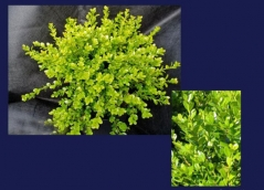 Buxus microphilla