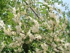 Elaeagnus multiflora цветение