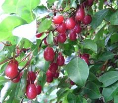 Гуммі плоди