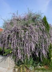 Буддлея очереднолистная<br>Буддлея черговолиста<br>Buddleja alternifolia