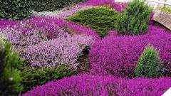 Вереск фіолетовий Ліанне