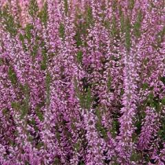 Вереск обыкновенный фиолетовый
