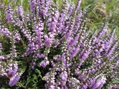 Calluna vulgaris фіолетовий