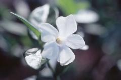 Vinca білий Alba