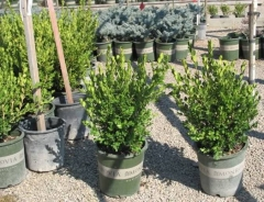 Buxus microphylla 'Winter Gem' фото