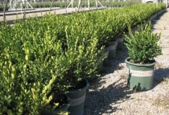 Buxus 'Winter Gem'