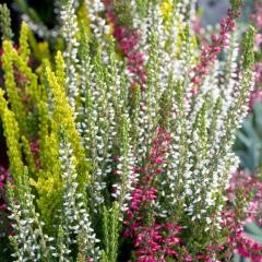 Calluna vulgaris зелёно-белый