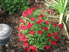 Dianthus deltoids Бриллиант