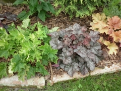 Heuchera red Regina