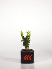 Самшит вечнозелёный Arborescensвозраст 2 года