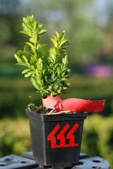 Самшит вечнозелёный 'Arborescens'
