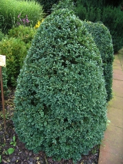 Buxus sempervirens 'Arborescens' стрижка