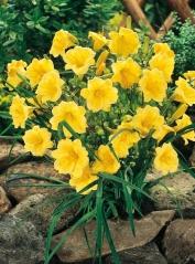 Лілійник яскраво-жовтий