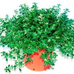 Тимьян лимонный Раста / Чабрец<br>Чебрець лимонний Раста / Тим'ян<br>Thymus citriodorus Rasta