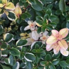 Чабрец лимоннопахнущий Раста