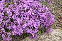 Флокс шиловидный Пурпл Бьюти<br>Флокс шилоподібний Пурпл Б'юті<br>Phlox subulata Purple Beauty