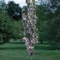Вишня колоновидная <br>Вишня колоновидна<br>Prunus cerasus columnar