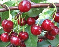 Скороплодная вишня