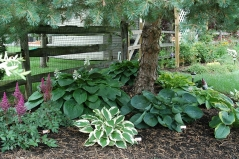 Hosta hybrida Wide Brim