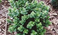 Buxus sempervirens 'Blauer Heinz'