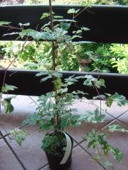 Parthenocissus Veitchii Robusta