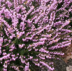 Еріка дарленська рожева