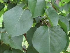 Apricot tree Melitopolskiy ranniy