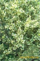Buxus sempervirens 'Elegans'